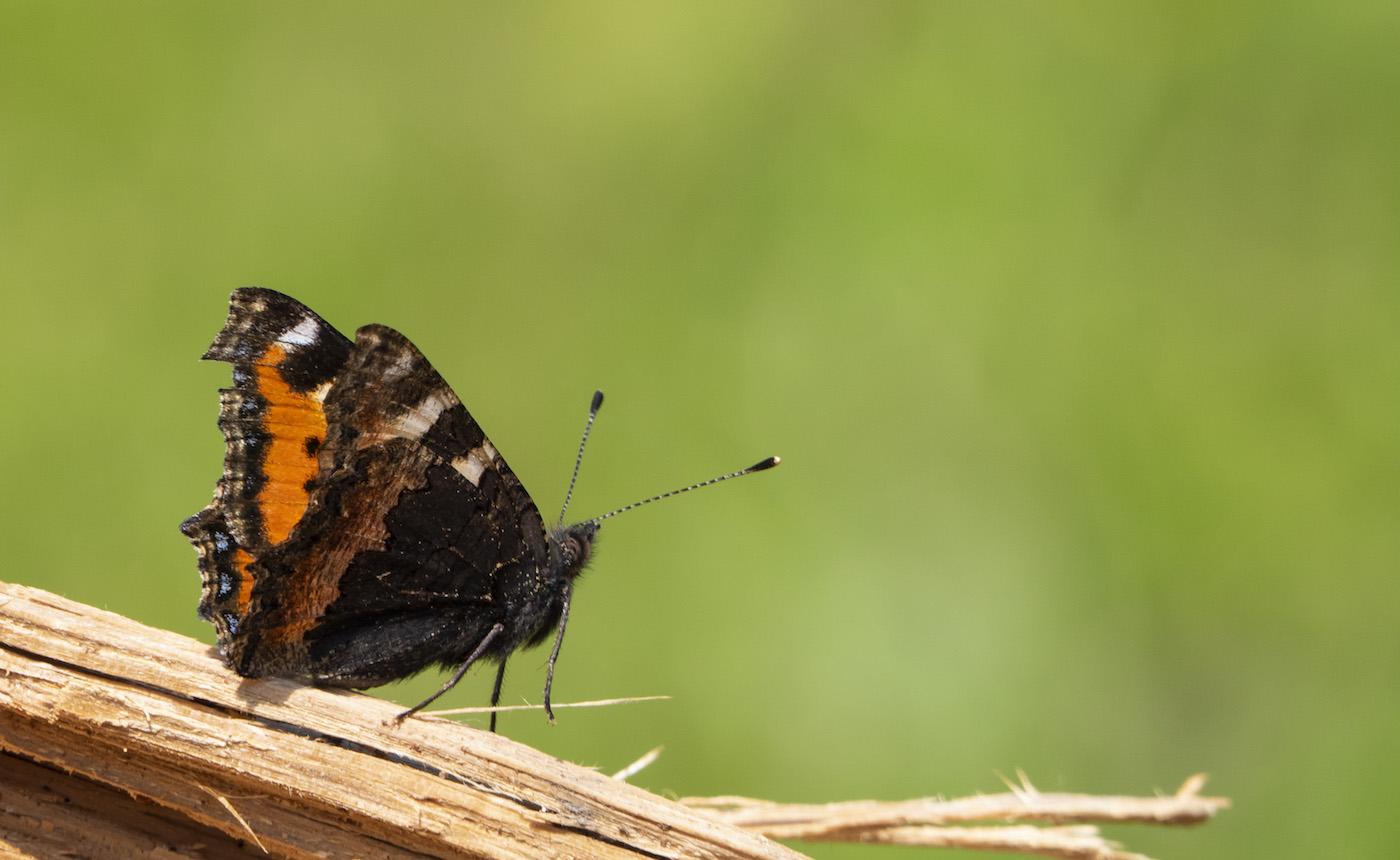 En habits de lumière Papillon-n19